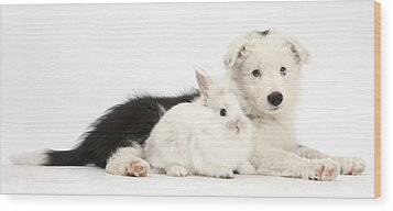 Border Collie Puppy With Baby Rabbit Wood Print by Mark Taylor