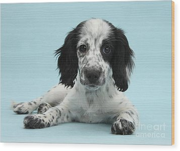 Border Collie X Cocker Spaniel Puppy Wood Print by Mark Taylor