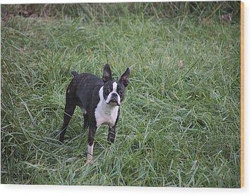 Boston Terrier Wood Print