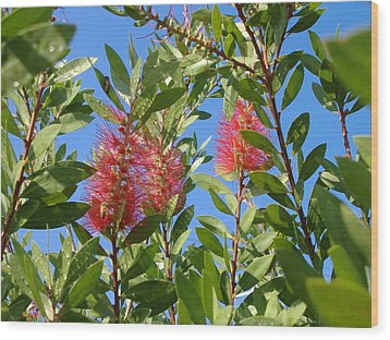 Bottle Brush Wood Print by Diane Ferguson