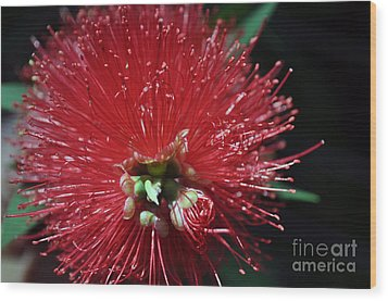 Bottle Brush Wood Print by Joanne Kocwin
