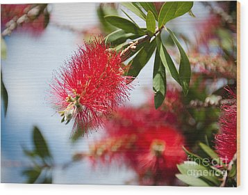 Bottle Brush Tree Wood Print by Yurix Sardinelly