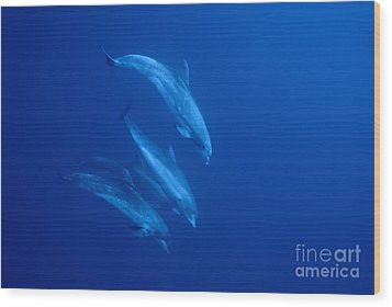 Bottle-nosed Dolphins Underwater Wood Print by Sami Sarkis