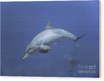 Bottlenose Dolphin Wood Print by Tom Peled