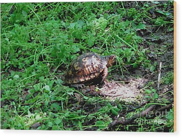 Box Turtle  Wood Print by The Kepharts