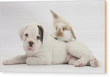 Boxer Puppy And Young Fluffy Rabbit Wood Print by Mark Taylor