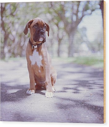 Boxer Puppy Wood Print by Diyosa Carter