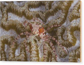 Boxing Crab In Raja Ampat, Indonesia Wood Print by Todd Winner