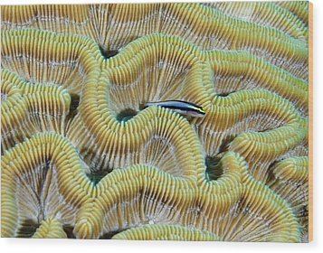 Brain Coral Wood Print by Robin Wilson Photography