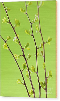 Branches With Green Spring Leaves Wood Print by Elena Elisseeva
