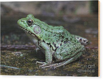 Bright Green Bullfrog Wood Print by Chris Hill