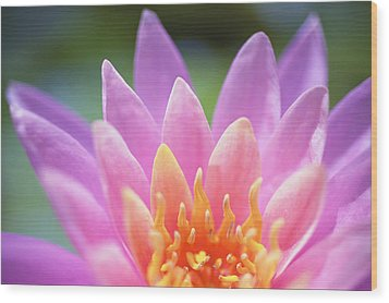 Bright Pink Water Lily Wood Print by Kicka Witte