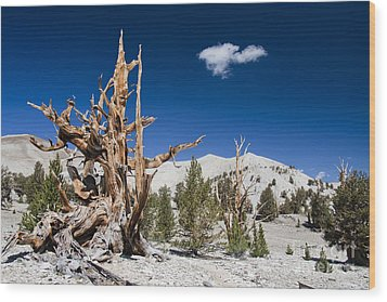 Bristlecone Pine - Pinus Longaeva Wood Print