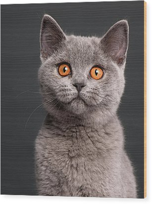 British Shorthair Kitten (3 Months Old) Wood Print by Life On White