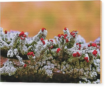 British Soldier Lichen Wood Print by Judi Bagwell