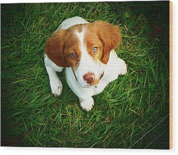 Brittany Spaniel Puppy Wood Print by Meredith Winn Photography