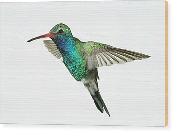 Broadbill Hummingbird  Wood Print by Gregory Scott