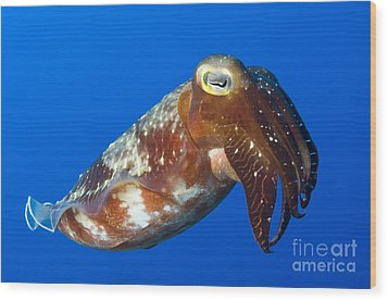 Broadclub Cuttlefish, Papua New Guinea Wood Print by Steve Jones