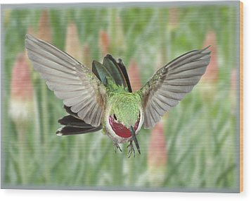 Broadtail Hummingbird Male And Red Hot Poker Wood Print by Gregory Scott