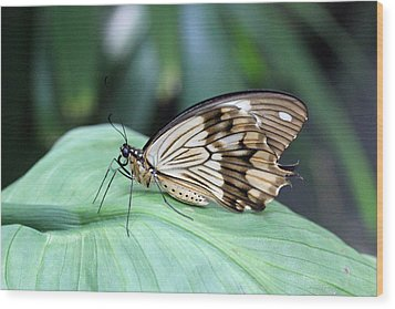 Brown And White Butterfly On Leaf Wood Print by Becky Lodes