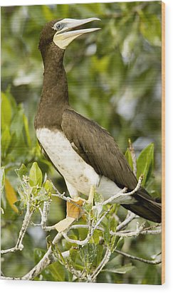 Brown Booby Sula Leucogaster Wood Print by Tim Laman