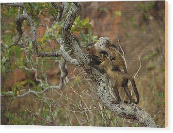 Brown Capuchin Cebus Apella Three Wood Print by Pete Oxford