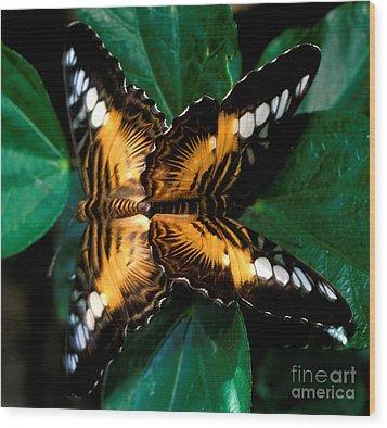 Brown Clipper Butterflies Mating Wood Print by Terry Elniski
