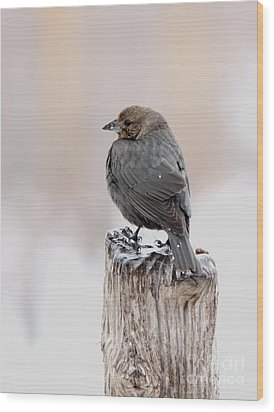 Wood Print featuring the photograph Brown-headed Cowbird by Jack R Brock