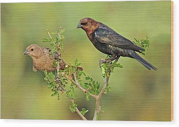 Brown Headed Cowbird Pair Wood Print by Dave Mills