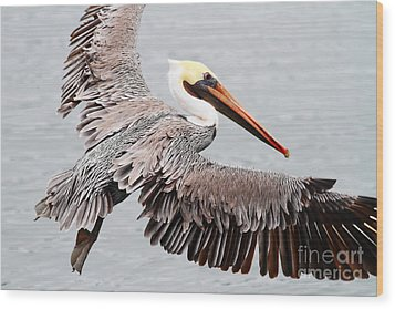 Brown Pelican . 7d8234 Wood Print by Wingsdomain Art and Photography