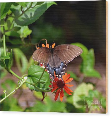 Brown Swallowtail Butterfly Wood Print by Eva Thomas