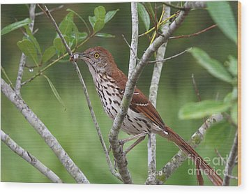 Brown Thrasher Snacking Wood Print by Jennifer Zelik