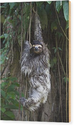 Brown Throated Three Toed Sloth Mother Wood Print by Suzi Eszterhas