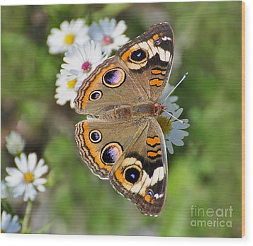 Buckeye Butterfly Wood Print by Rodney Campbell