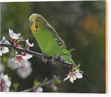 Budgie Perching On Cherry Branch Wood Print by QuimGranell
