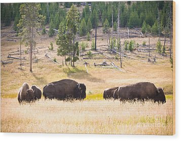 Buffalo In Golden Grass Wood Print by Cindy Singleton