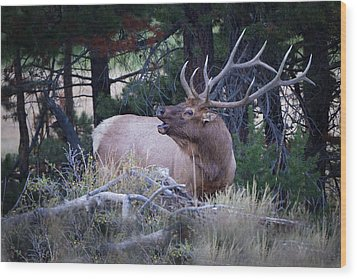 Bugling Bull Elk Wood Print by Ronald Lutz