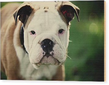 Bull Dog Wood Print by Muoo Photography