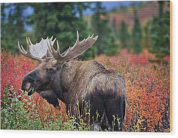 Bull Moose In The Fall Colors Wood Print by Thomas Payer