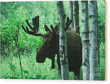 Bull Moose  Wood Print by Ronnie Glover