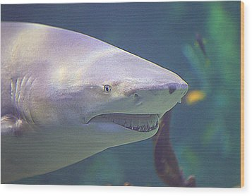 Bull Shark Head Wood Print by Paul Svensen