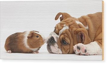 Bulldog Pup Face-to-face With Guinea Pig Wood Print by Mark Taylor