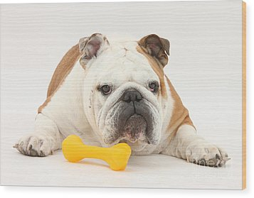 Bulldog With Plastic Chew Toy Wood Print by Mark Taylor