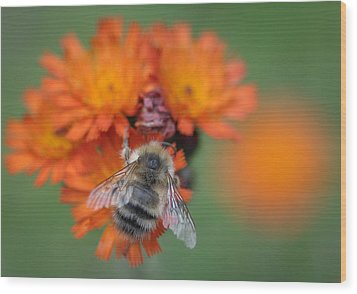 Wood Print featuring the photograph Bumblebee And Orange Hawkweed by Ronda Broatch