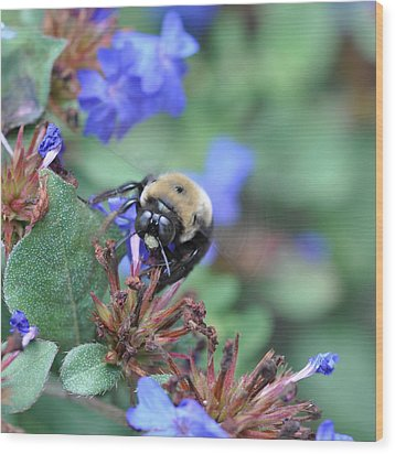 Bumblebee In Plumbago Larpentae Wood Print