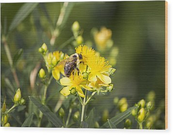 Bumblebee On Yellow Wood Print