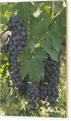 Bunches Of Sangiovese Grapes Hang Wood Print by Heather Perry