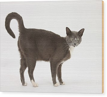 Burmese-cross Cat Wood Print by Mark Taylor