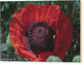 Wood Print featuring the photograph Burning Poppy by Mitch Shindelbower