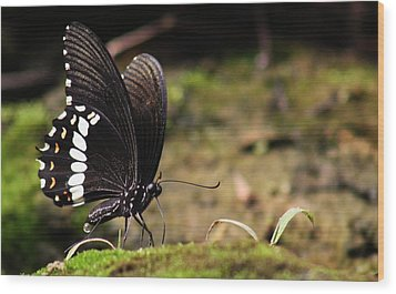 Wood Print featuring the photograph Butterfly Feeding  by Ramabhadran Thirupattur